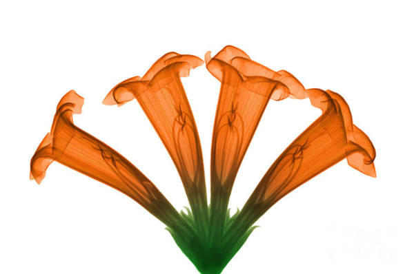 Photograph - Trumpet Vine, X-ray by Ted Kinsman