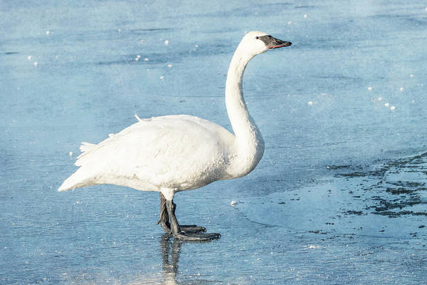 Photograph - Trumpeter Swan Neck #1 by Patti Deters