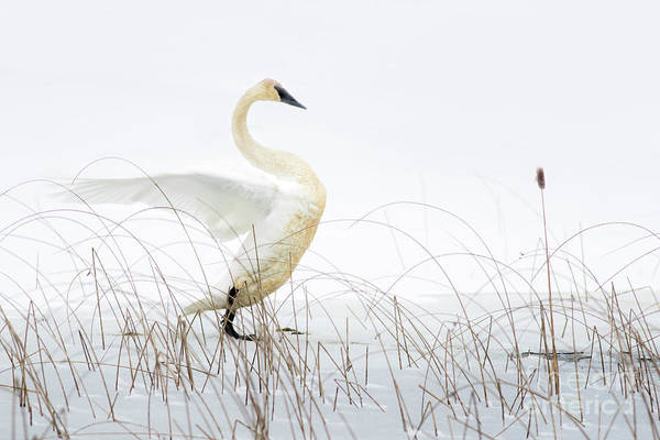 Wall Art - Photograph - Trumpeter Swan On Ice by Todd Bielby