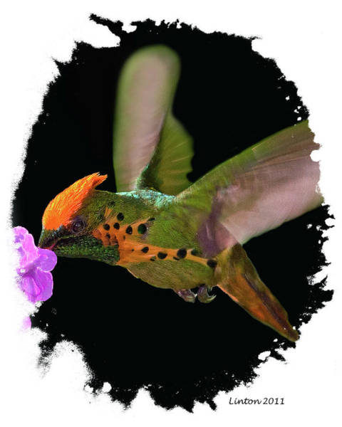 Photograph - Tufted Coquette Hummingbird by Larry Linton