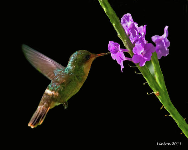 Photograph - Tufted Coquette by Larry Linton
