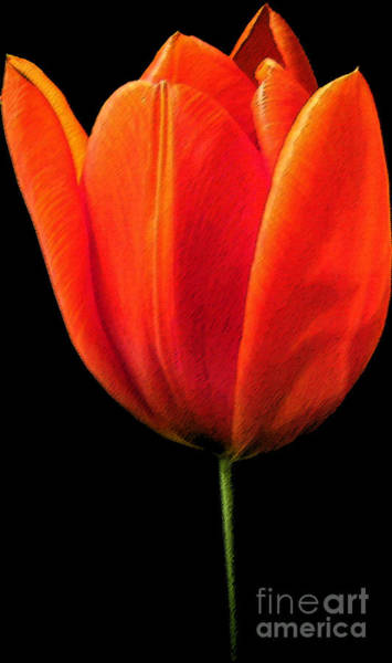 Wall Art - Photograph - Tulip by Amanda Barcon