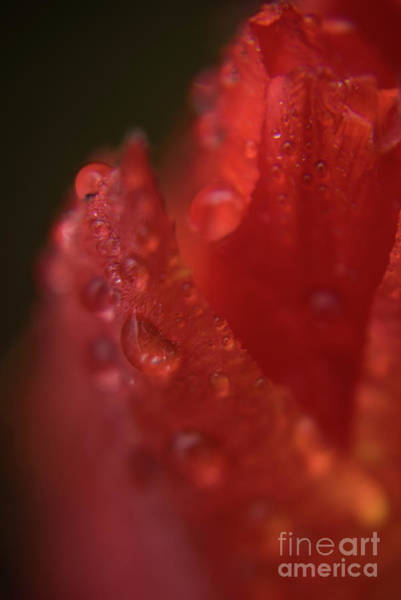 Photograph - Tulip Petal Raindrops-1844 by Steve Somerville
