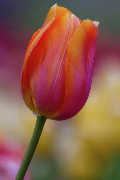 Wall Art - Photograph - Tulip Time 27 by Heather Kenward