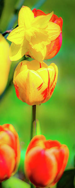 Photograph - Tulips 2 by David Heilman