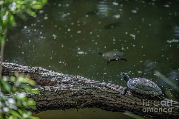 Photograph - Turtle Swiming Hole by Dale Powell