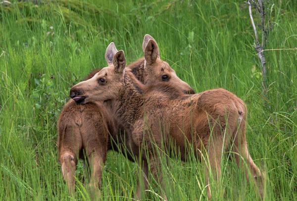 Twin Baby Moose Art Print