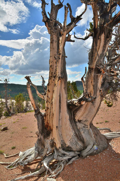 Photograph - Twisted Forest Bristlecone by Ray Mathis