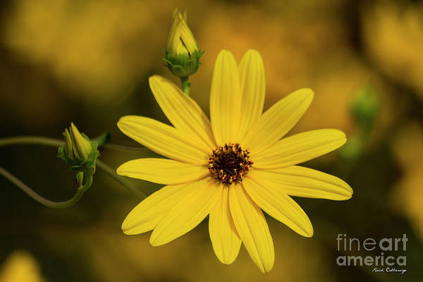 Photograph - Two And One Black Eyed Susan Flower Art by Reid Callaway