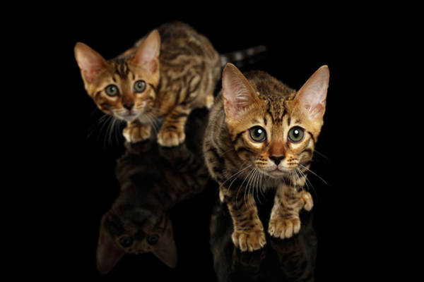 Wall Art - Photograph - Two Bengal Kitty Looking In Camera On Black by Sergey Taran