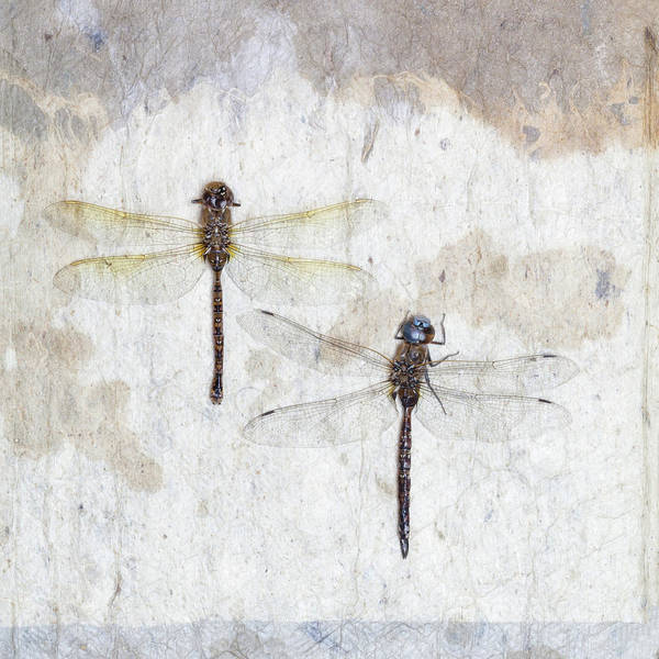 Wall Art - Photograph - Two Dragonflies Square by Carol Leigh