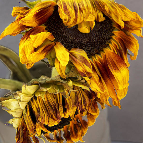 Wall Art - Photograph - Two Sunflowers Tournesols by William Dey