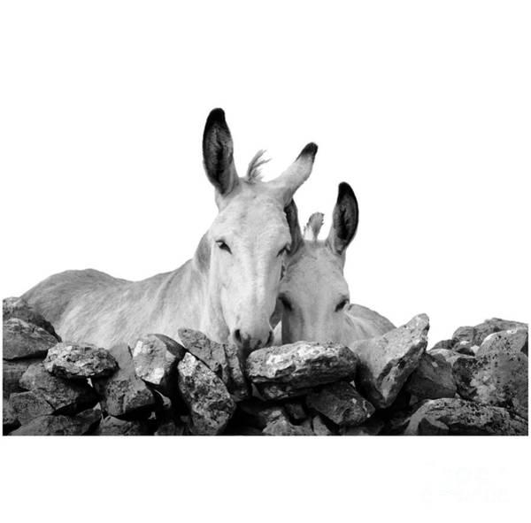Photograph - Two White Irish Donkeys by RicardMN Photography