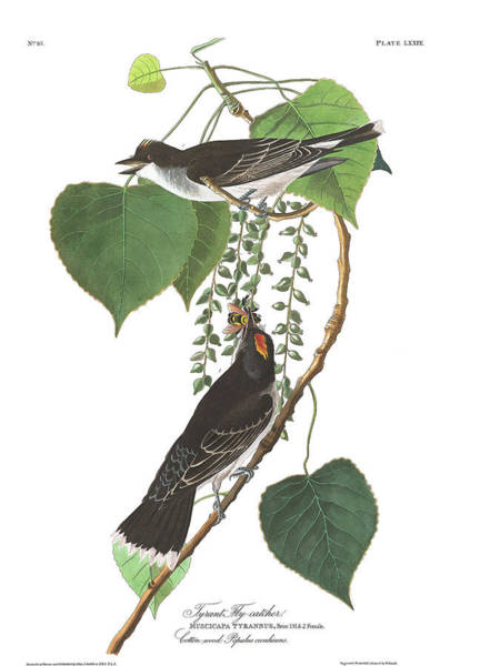 Wall Art - Painting - Tyrant Fly-catcher by John James Audubon