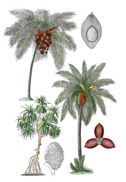 Coco Drawing - Various Palms by Bildagentur-online