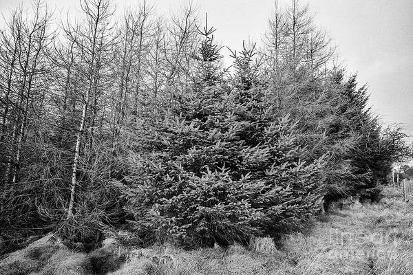 Smallholding Photograph - Various Screen Trees On The Windward Side Of Small Patch Of Evergreen Sitka Spruce Woodland Ballymen by Joe Fox