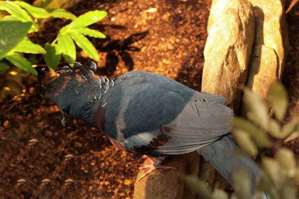 Photograph - Victoria Crowned Pigeon by Chris Flees