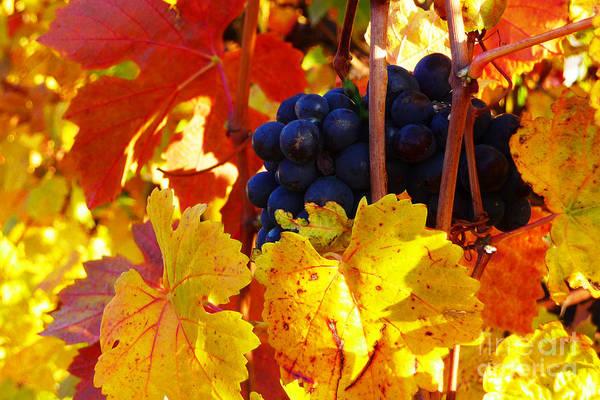 Photograph - Vineyard 16 by Xueling Zou