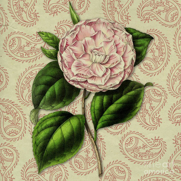 Wall Art - Digital Art - Vintage Botanical Pink Flower Camellia Japonica by Amy Cicconi