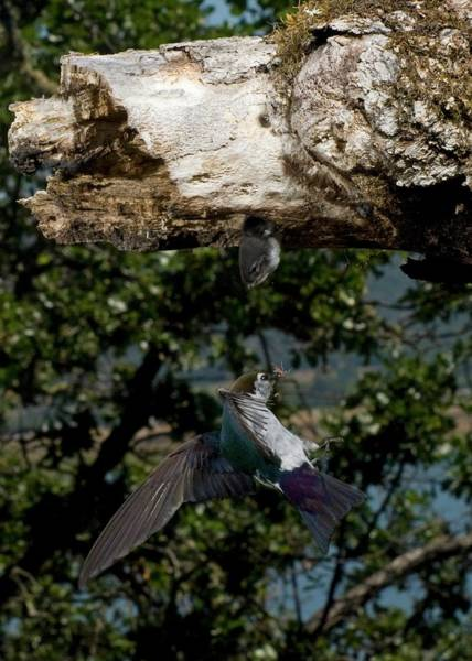 Violet-green Swallow Photograph - Violet-green Swallow At Nest Cavity by Damon Calderwood