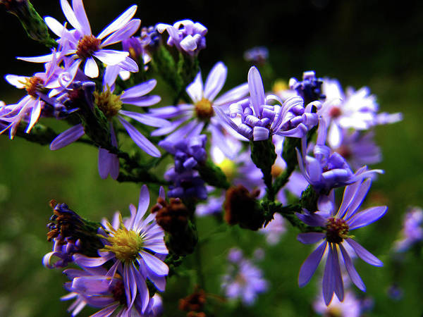 Photograph - Violet Wild Aster by Scott Hovind