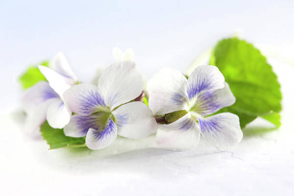 Wall Art - Photograph - Violets With Leaves by Iris Richardson