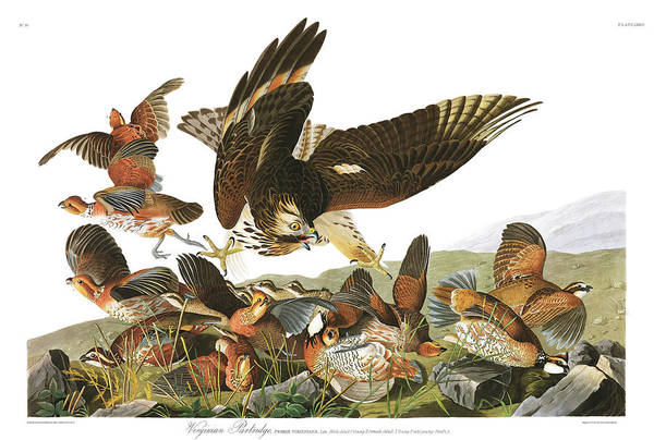 Wall Art - Painting - Virginian Partridge by John James Audubon