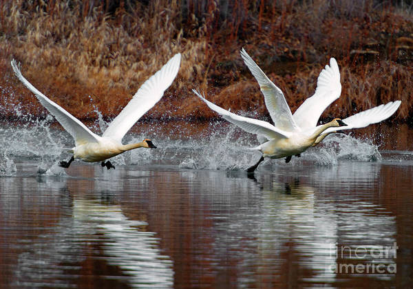 Swan Valley Photograph - Walking On Water by Mike Dawson