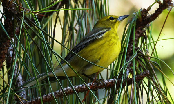Photograph - Warbler Warbling by Sally Sperry