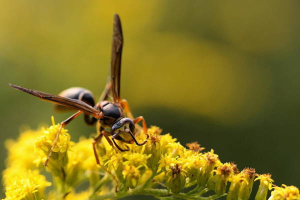 Photograph - Wasp On Wildflower by Angela Rath