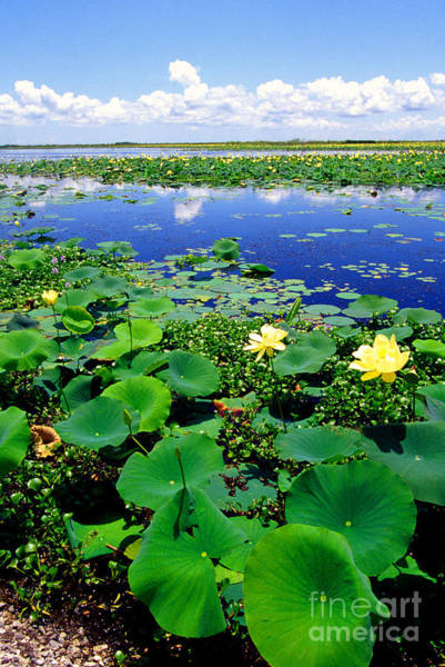 Photograph - Water Lilies Along The Creole Nature Trail by Thomas R Fletcher