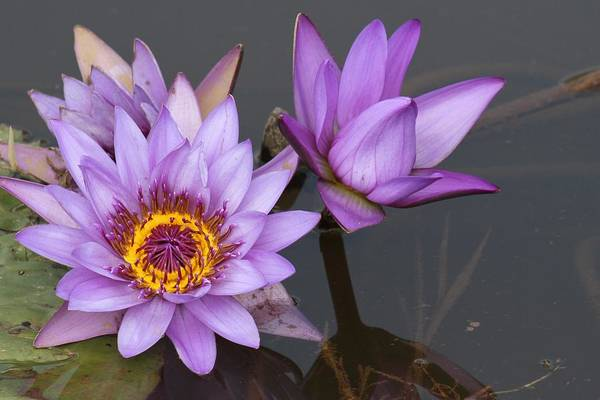 Wall Art - Photograph - Water Lily Beauty by Valia Bradshaw