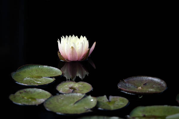 Wall Art - Photograph - Water Lily by Catherine Lau