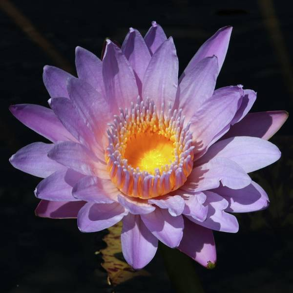 Photograph - Water Lily by Harold Rau