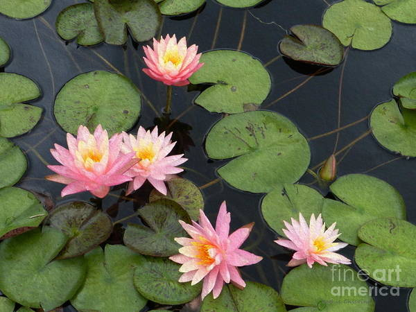 Photograph - Waterlilies by Kathie Chicoine