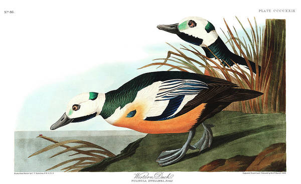 Wall Art - Painting - Western Duck by John James Audubon