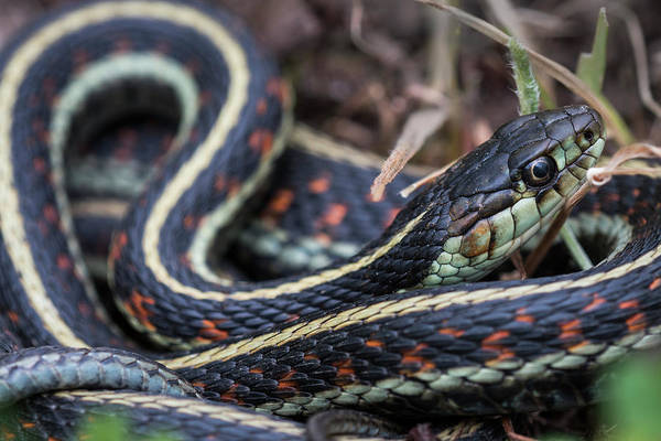Photograph - Western Garter Snake by Robert Potts