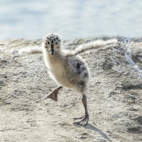 Photograph - Western Gull Chick Dancing by William Bitman