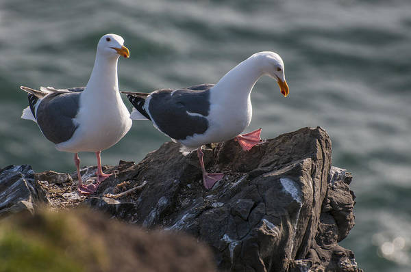 Photograph - Western Gulls On A Cliff by Robert Potts