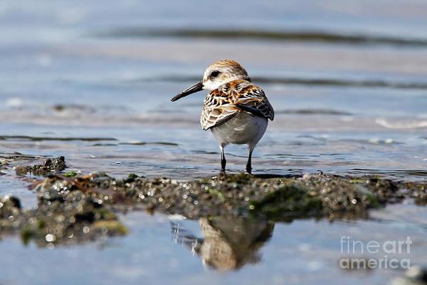 Photograph - Western Sandpiper by Sue Harper