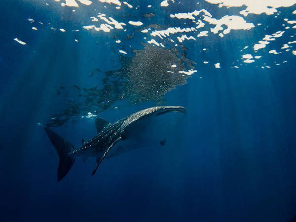 Photograph - Whale Shark by U Schade