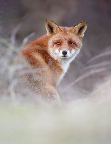 Cute Overload Photograph - What Does The Fox Think by Roeselien Raimond