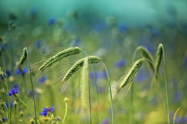 Natural Photograph - Wheat And Corn Flowers by Nailia Schwarz