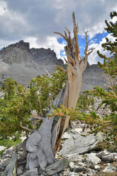 Photograph - Wheeler Peak Bristlecone by Ray Mathis