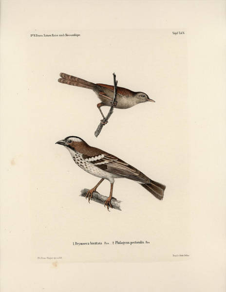 Drawing - White-browed Sparrow-weaver And Grass Or Bush Warbler by J D L Franz Wagner