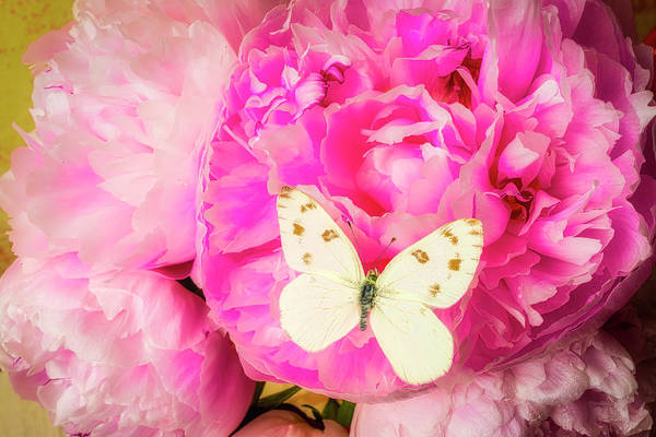 Photograph - White Butterfly On Pink Peony by Garry Gay