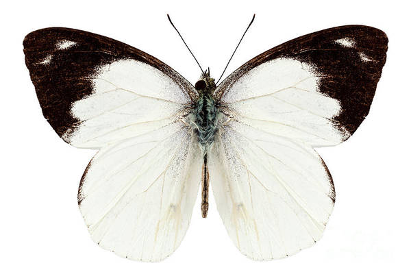 Antenna Painting - White Butterfly Species Apias Indra Indra by Pablo Romero