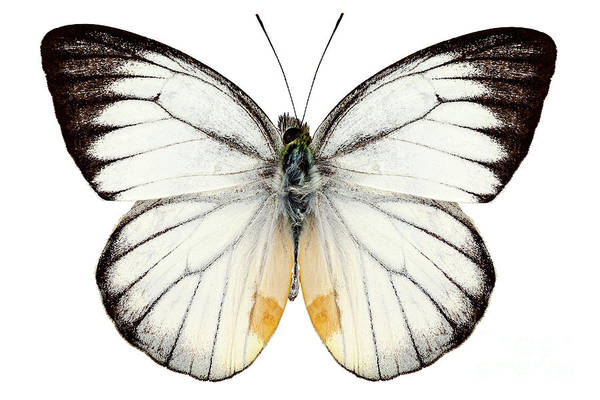 Antenna Painting - White Butterfly Species Delias Baracasa by Pablo Romero