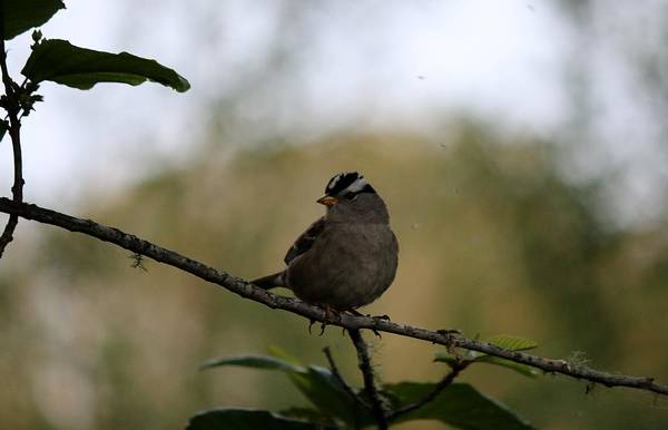 Photograph - White-crowned Sparrow 2  by Christy Pooschke