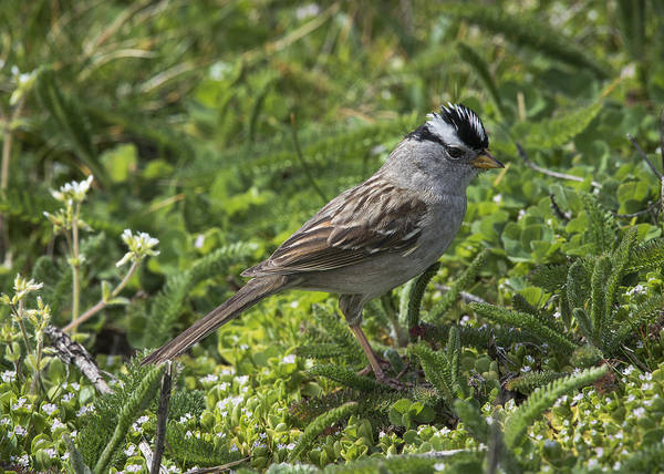 Photograph - White-crowned Sparrow by Robert Potts